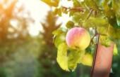 Lederalternative aus Äpfeln
