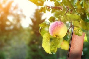 apfelleder - Lederalternative aus Äpfeln